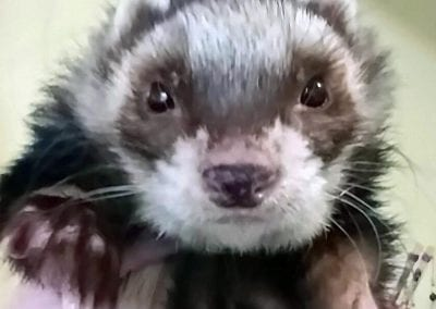 Ace the Ferret