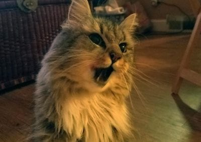 Kissa the Maine Coon