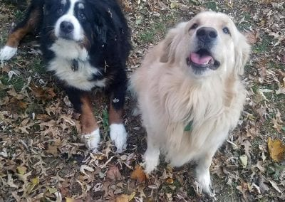 Marley the Bernese Mountain Dog and Juneau the Golden Retriever