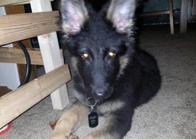 Murph the German Shepherd