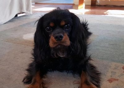 Nathan the Cavalier King Charles